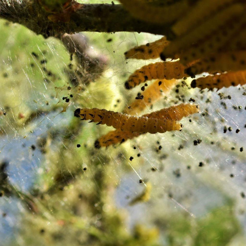 Caterpillars in crops